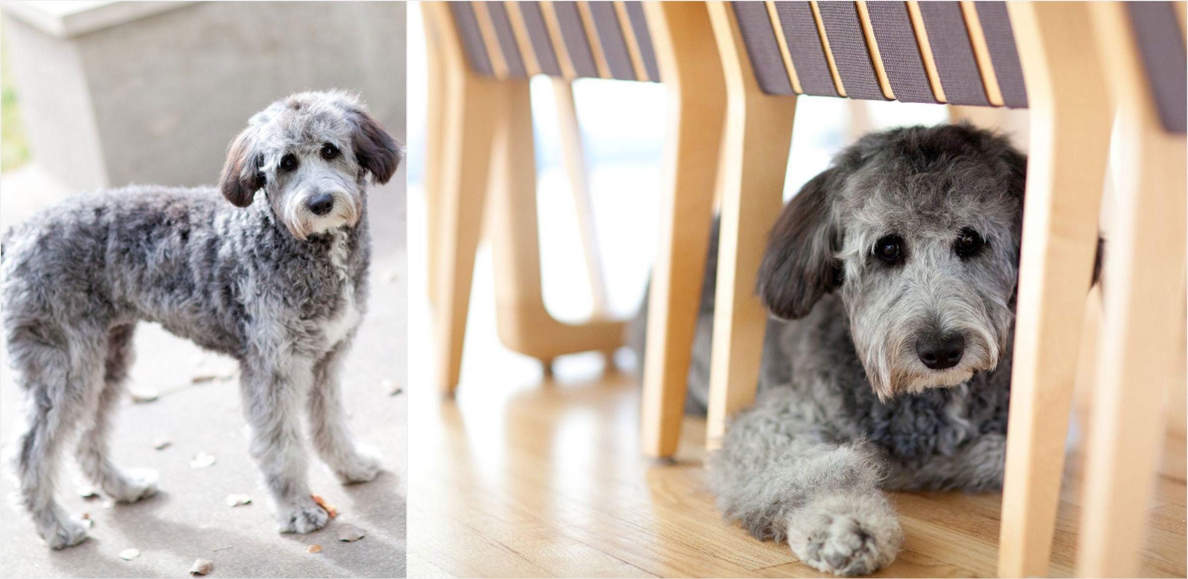 grey-dog-poses-during-denver-family-portrait-session-004