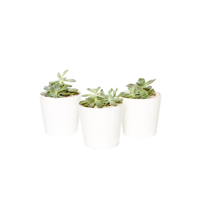 Succulent Arrangements.jpg