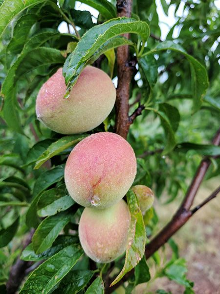 Engel Farm Peaches
