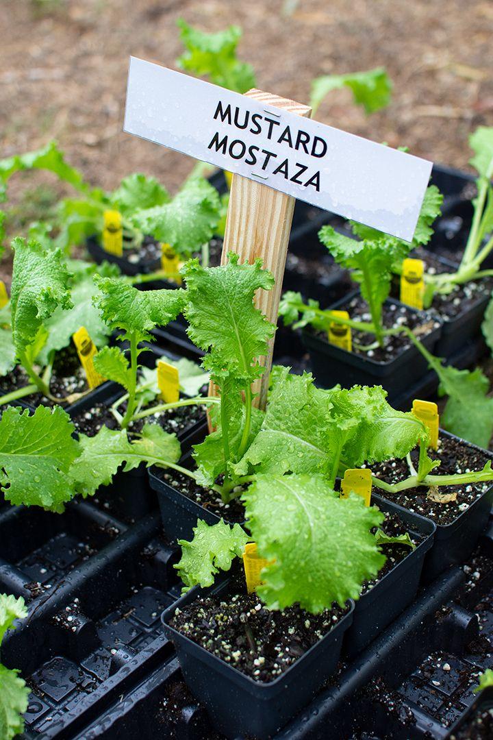 2019-09-19-STH-Mustard-Greens-WEB.jpg