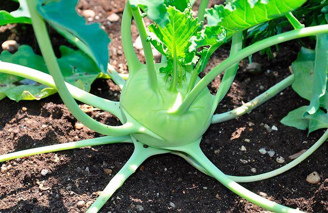 Kohlrabi-PC-Harvest-to-Table_675px.jpg