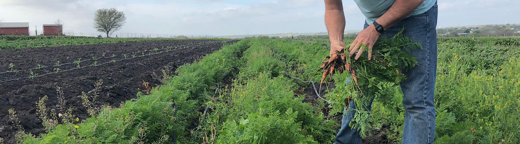 farmer pulling carrots
