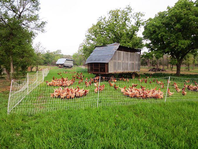 Chicken-Tractors_675px.jpg