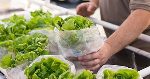 Esperanza Farm Hand Holding Lettuce