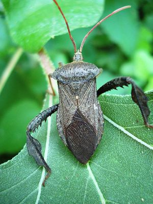 Leaf-footed-bug.jpg