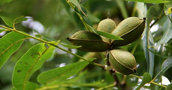 pecan-tree_WEBSITE.jpg