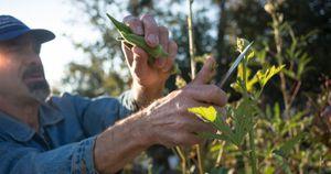 Farmer cutting okra from plant