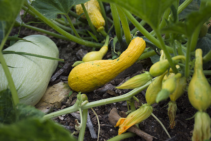 SDF-Community-Garden-Summer-Squash-1_WEBSITE.jpg