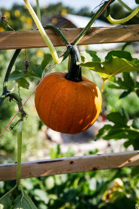 PumpkinStatesman.jpg