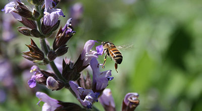 flying-bee-purple-flower_400px.jpg