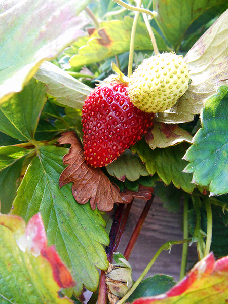 Intel-DuPont-Community-Garden--Strawberries2.jpg
