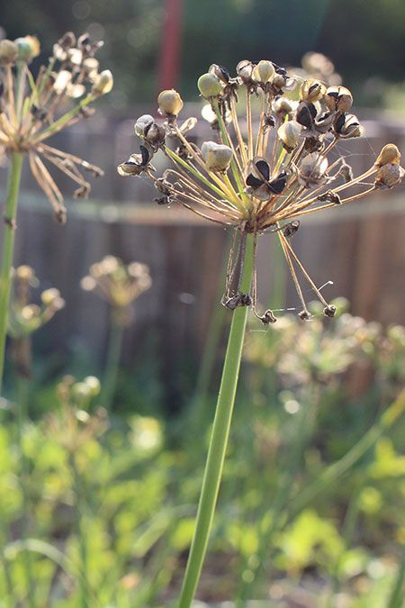 Garlic-Chives-450px.jpg
