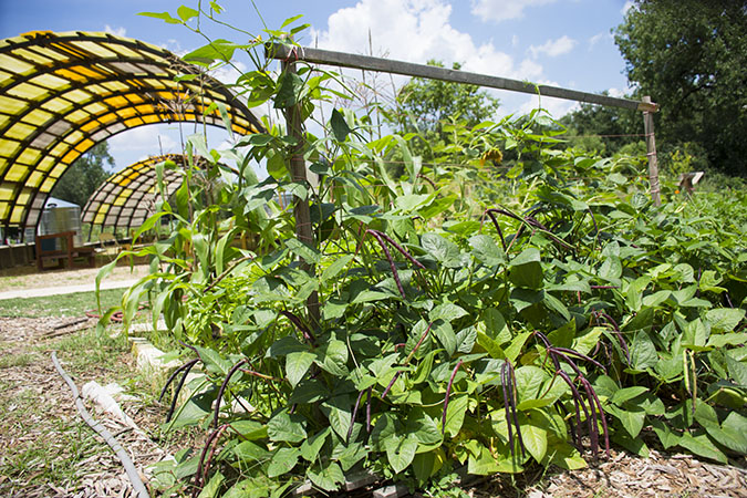 SDF-Community-Garden-Bean-Trellis-with-Pavilion_WEBSITE.jpg