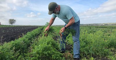 Farmer in Field Harvesting Carrots