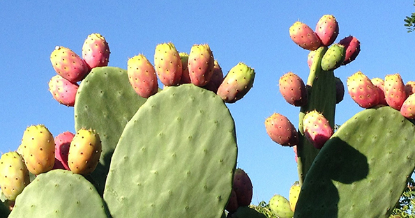 prickly-pear_WEBSITE.jpg