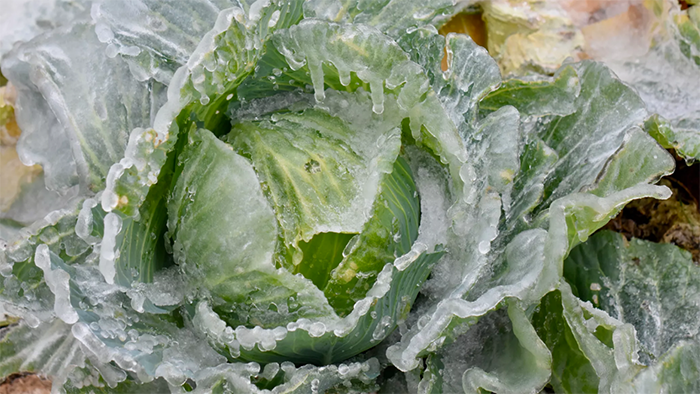 Hat and Heart Frozen Cabbage - WEBSITE.png