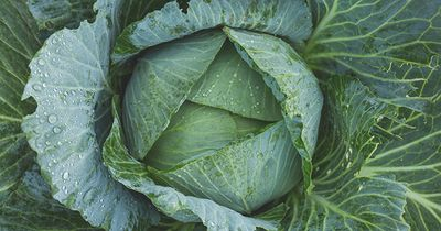 Cabbage after rain - web.jpg