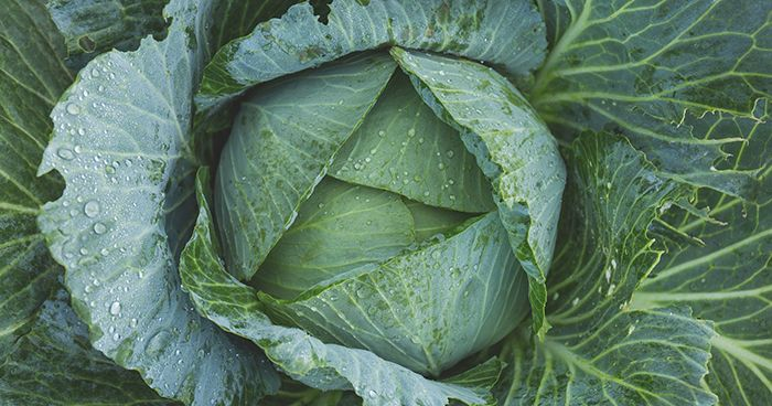 Cabbage after rain - web.jpg