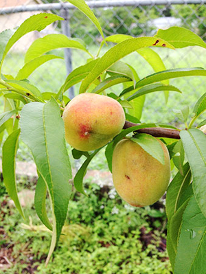 Peaches from Sari's tree_2_5.11_450px.jpg