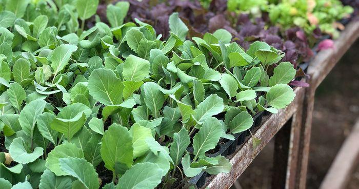 Flintrock Hill Seedlings
