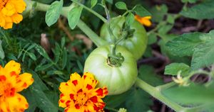 Green Tomatoes with Flowers
