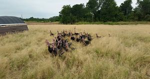 Richardson Farms Turkeys
