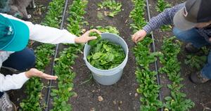 simmons-two-people-picking-greens_BLOG.jpg