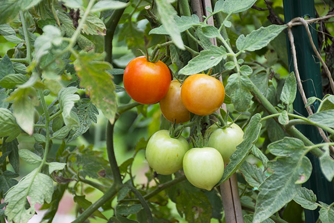 SDF-Community-Garden-Grape-Tomatoes-1_WEBSITE.jpg