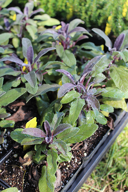Herbs_transplants_450px.jpg