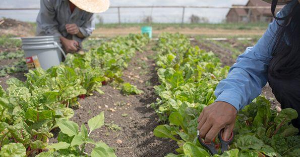 Simmons Farm Cutting Crops