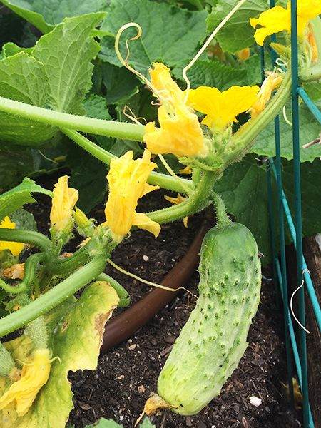 cucumber_WEBSITE.jpg