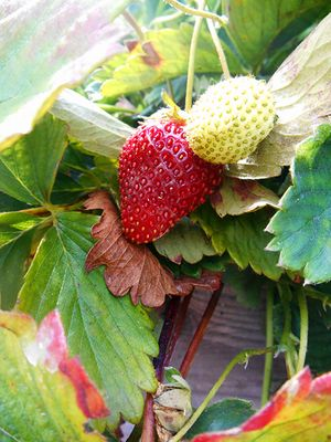 Community-Garden--Strawberries for GSP_7.2.15.jpg