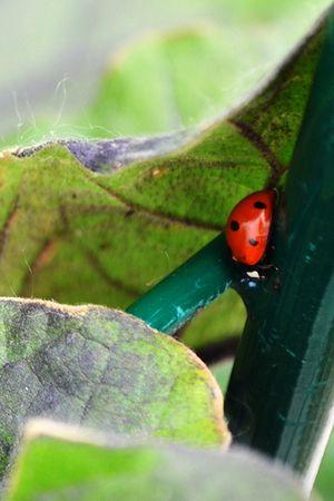 lady_bug_450px.jpg