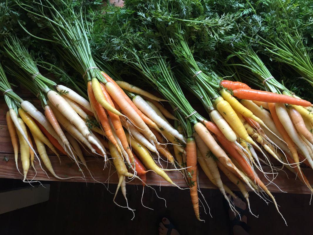carrotsfarm.JPG
