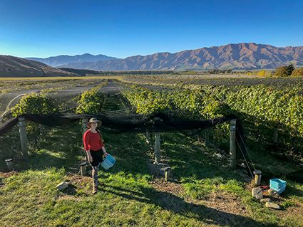 Grape Harvest in the Waitaki Valley
