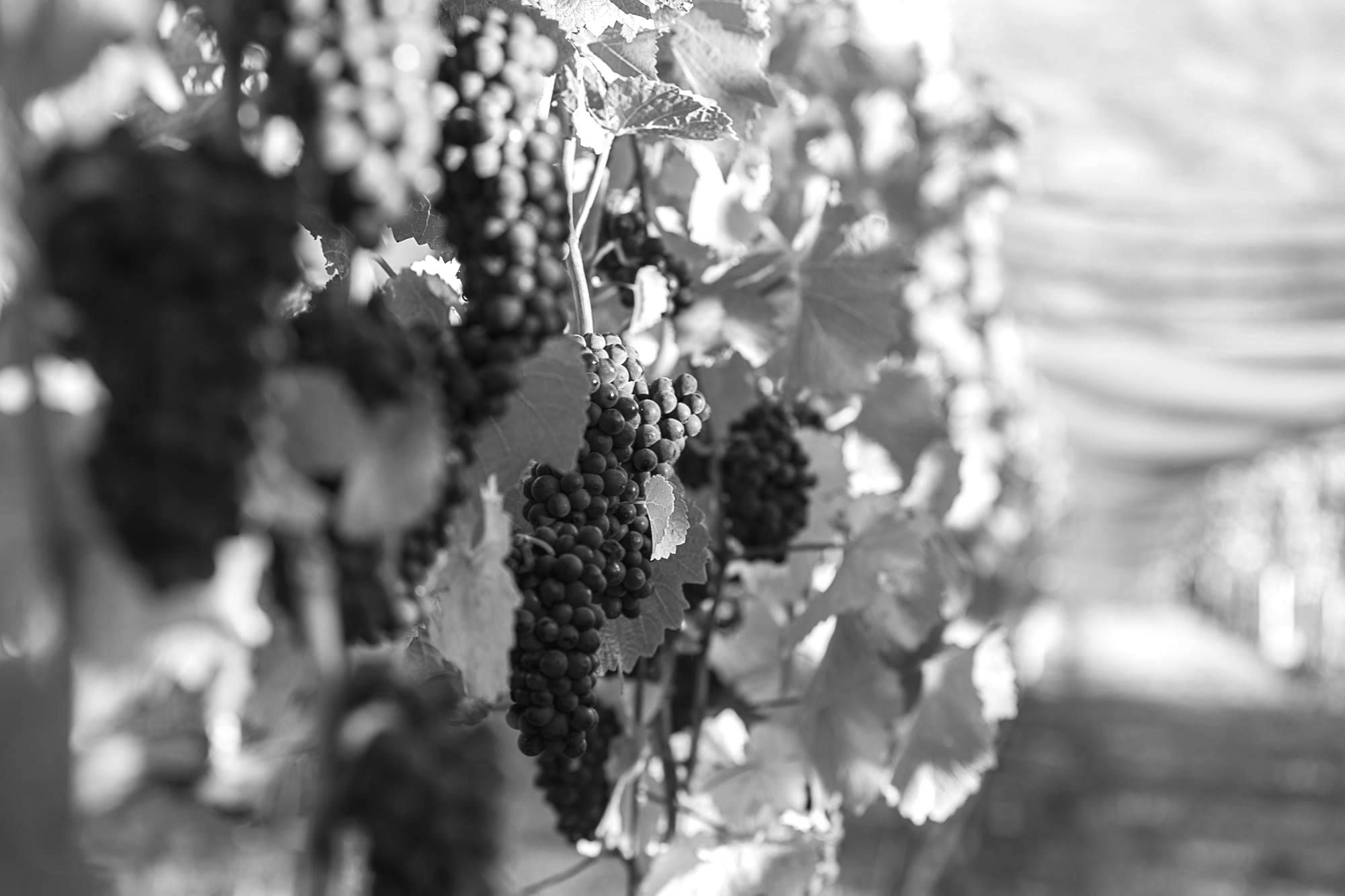 Bendigo grape B&W.jpg