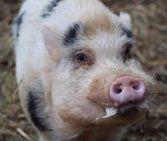 porky.jpg