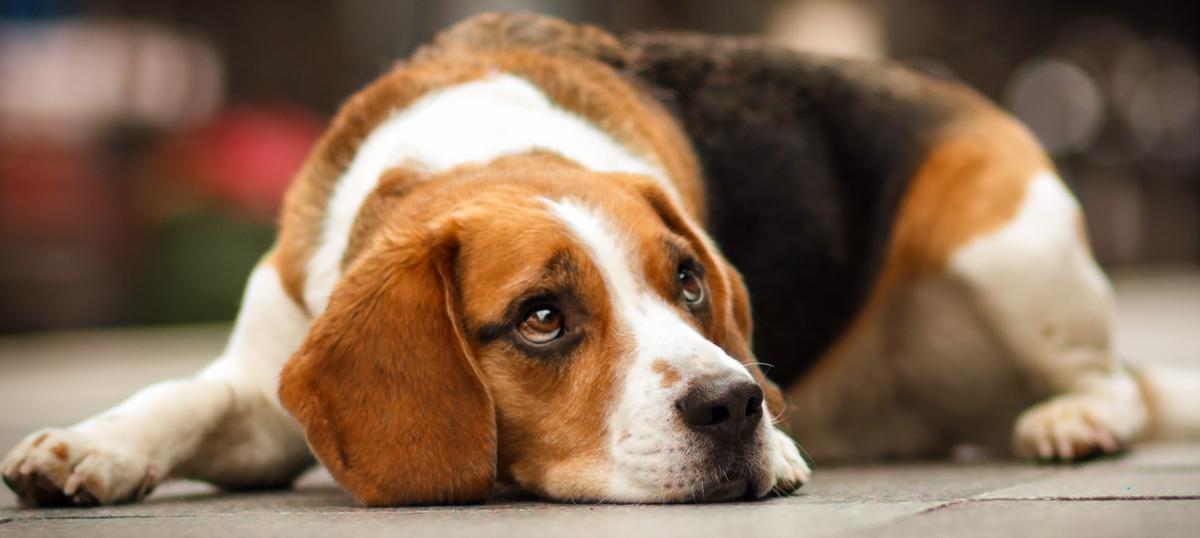 sad beagle.png