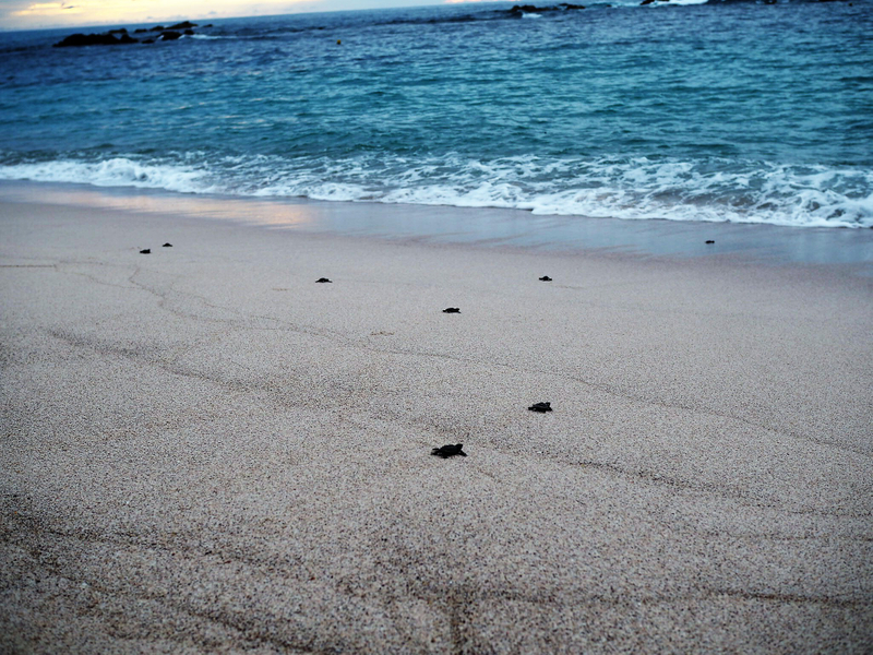 Four Seasons Punta Mita Sea Turtles