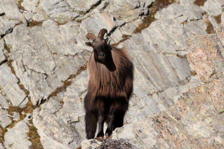 Tahr for hunting page web banner.JPG