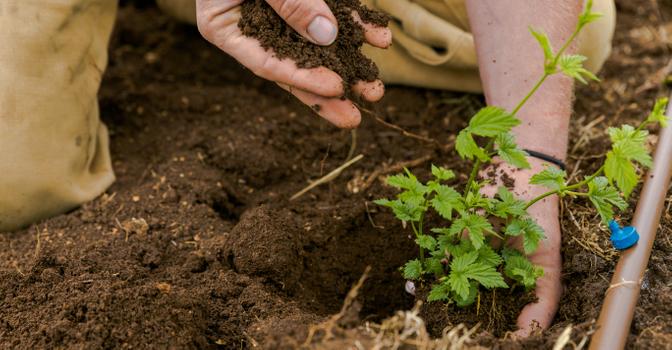 hop planting 3.jpg