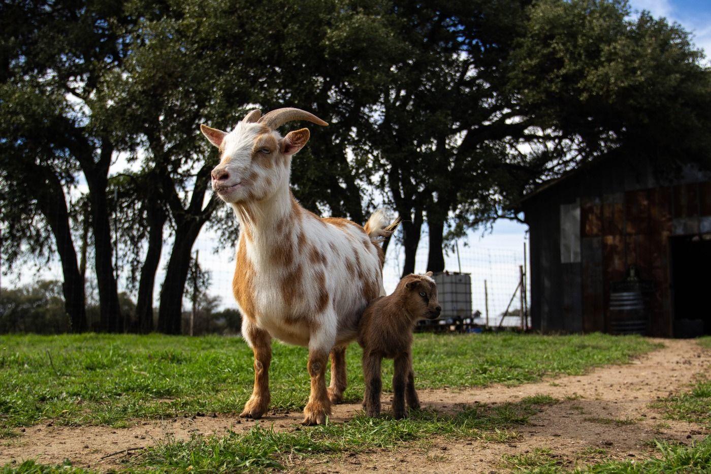 baby goat 6.jpg