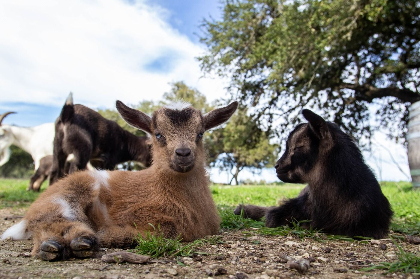 baby goat 5.jpg