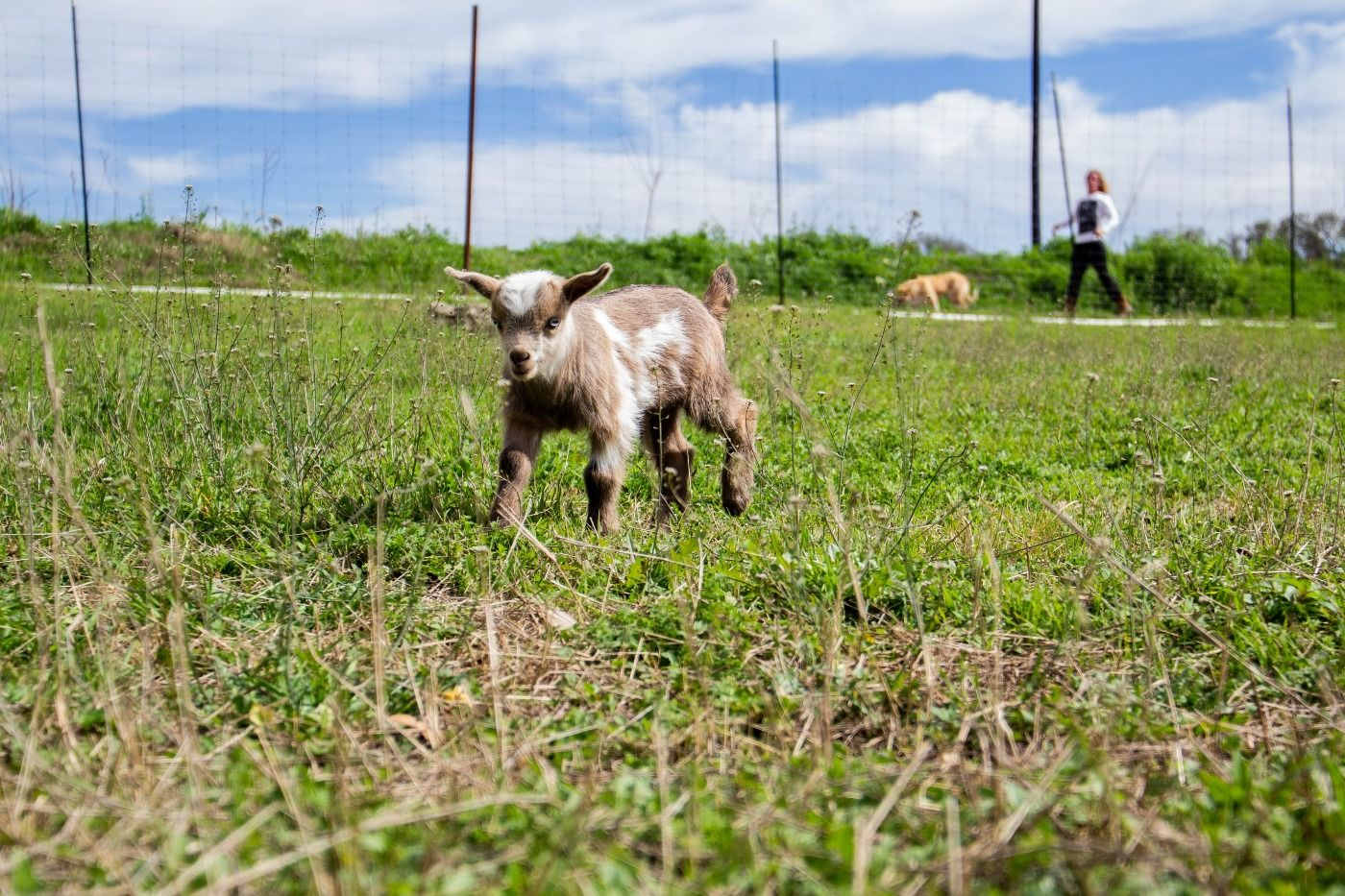 baby goat 4.jpg