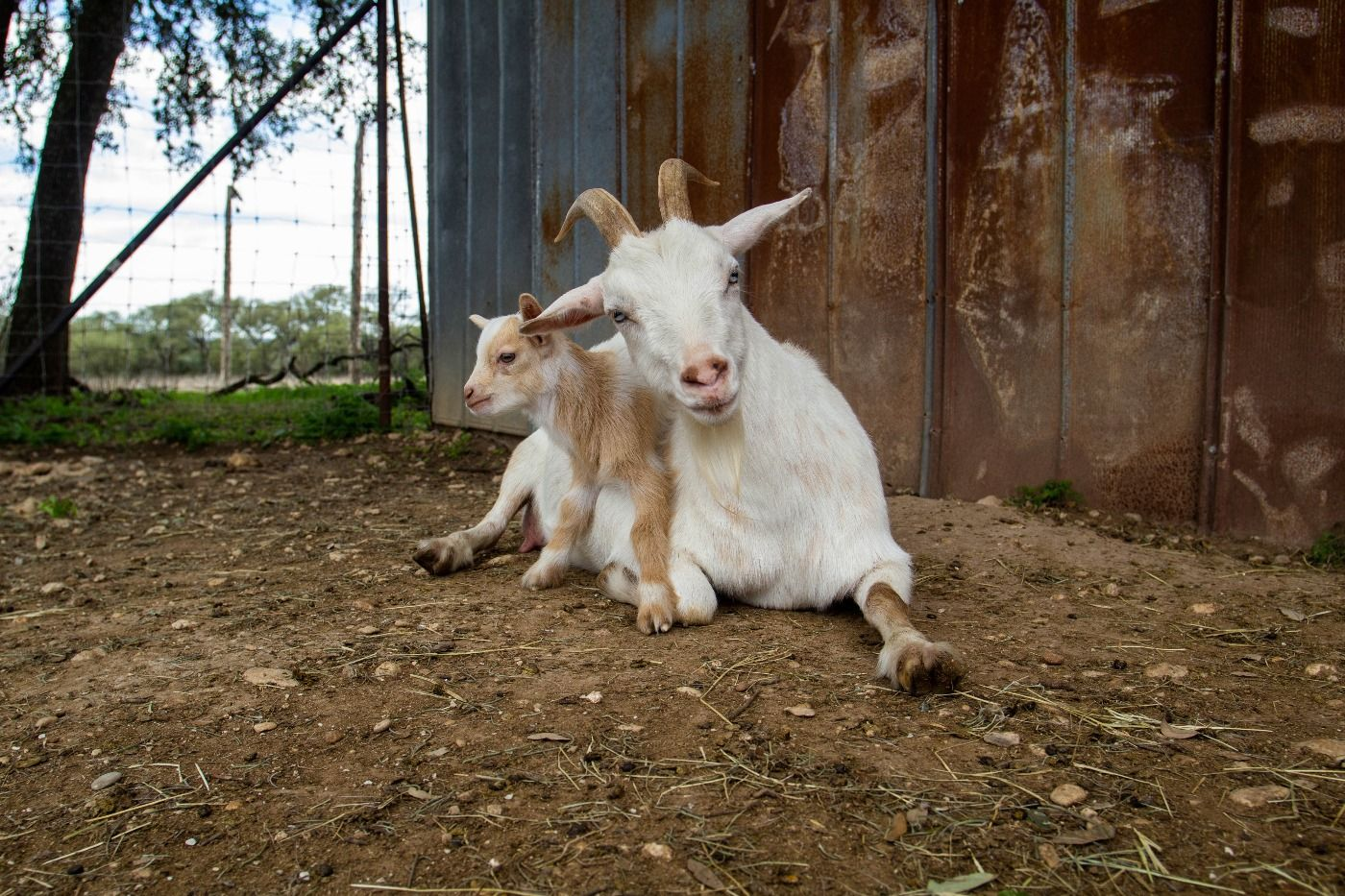 baby goat 3.jpg