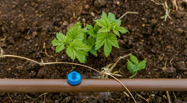 hop planting 6.jpg