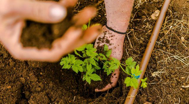 hop planting 5.jpg