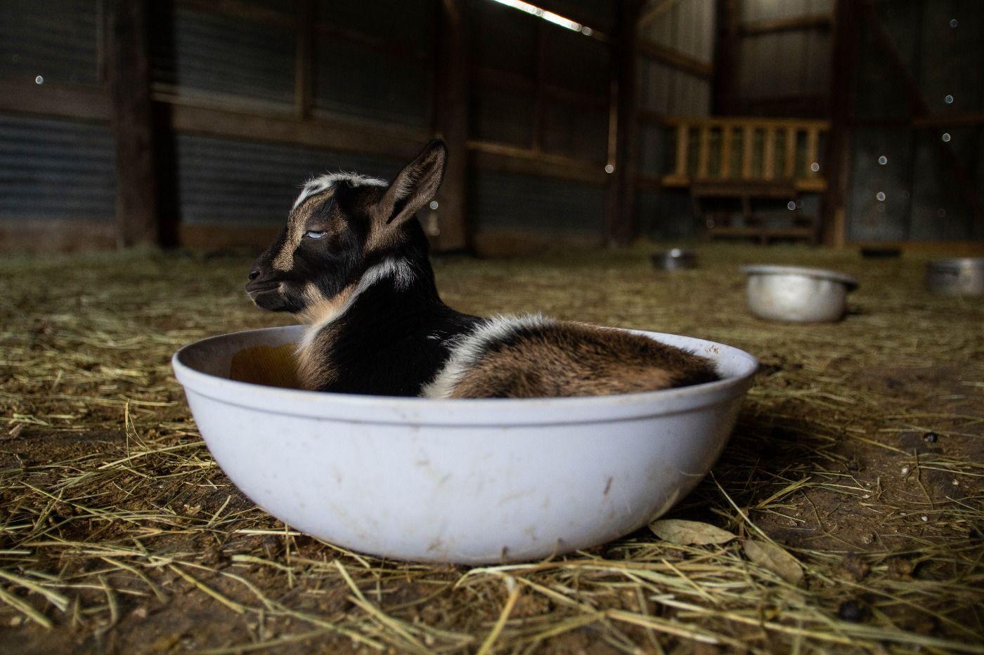 baby goat 7.jpg