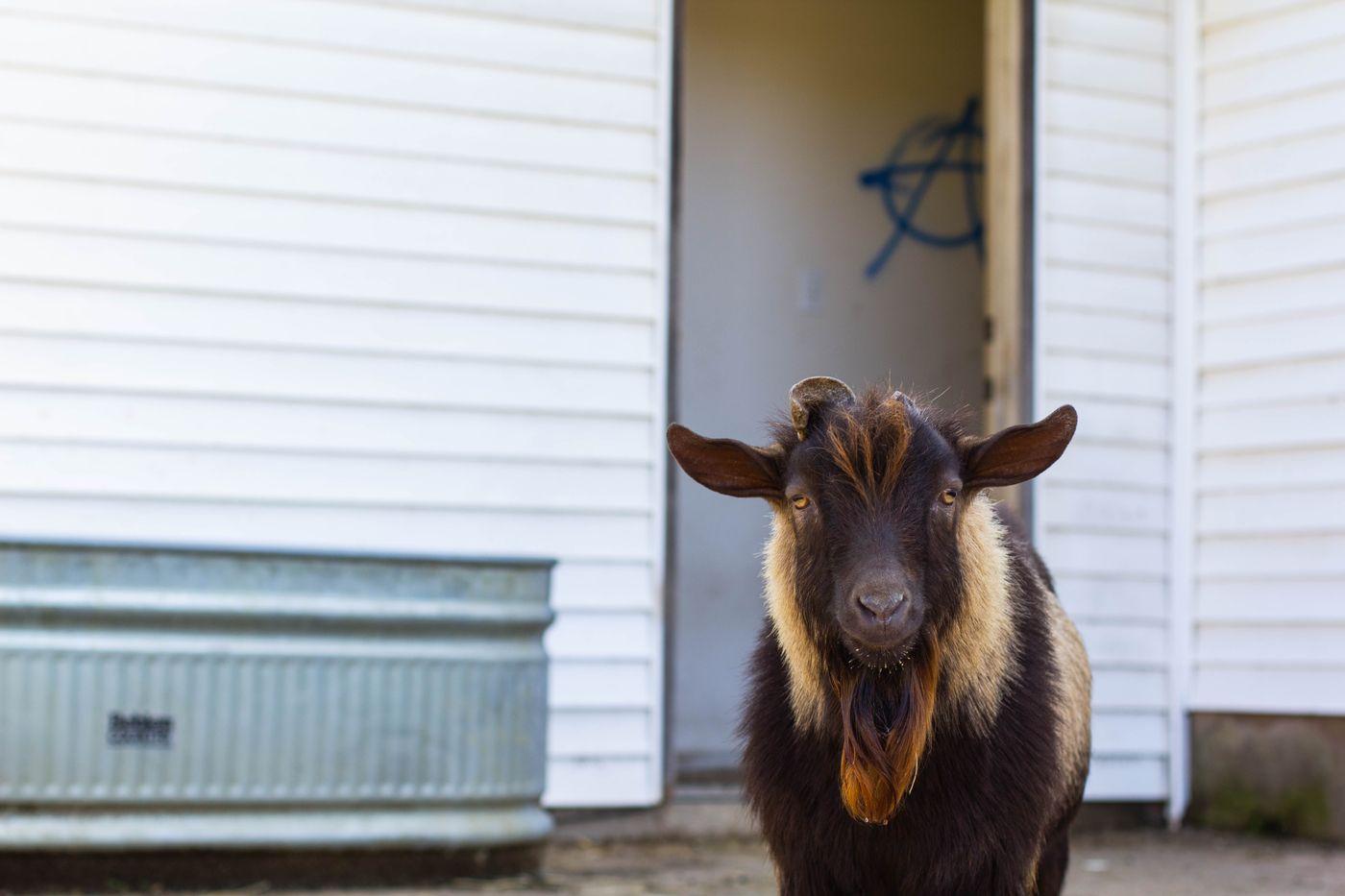 goat 2.jpg