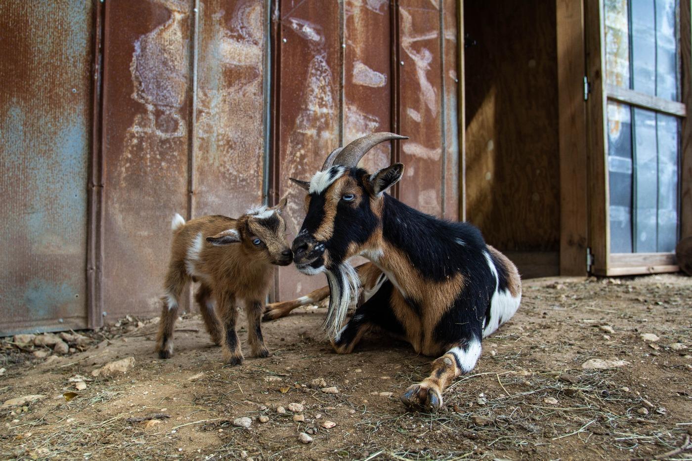baby goat 9.jpg